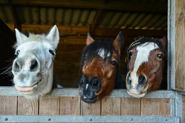 Snowdonia Riding Stables, horses looking over box edge