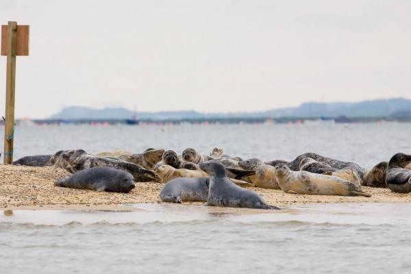 Seal colony in Norfolk