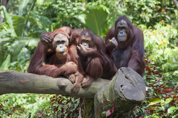 Monkey World, group of orangutans on a branch