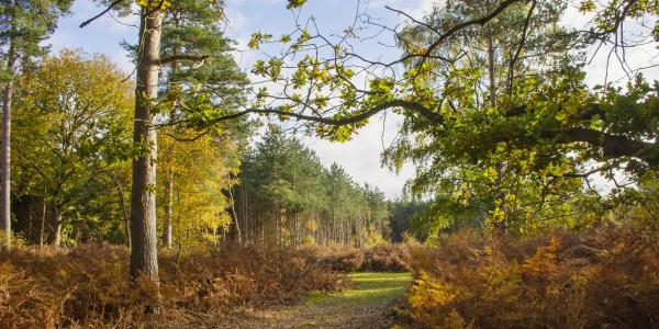 Path through Rendlesham Forest, near Blaxhall