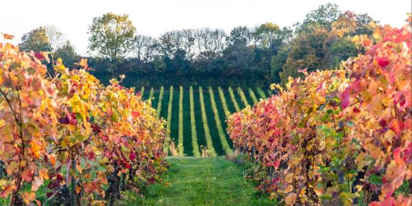 Denbies Wine Estate vineyard