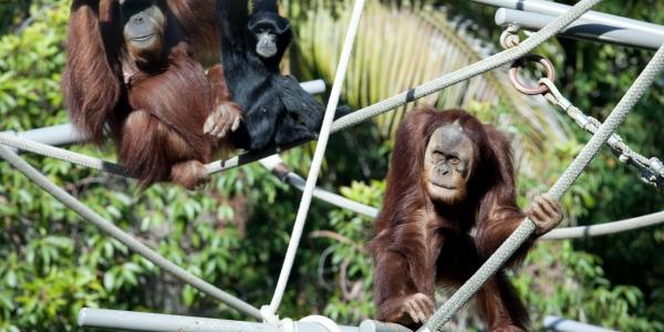 Newquay Zoo, image of Orangutans